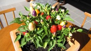 Chilli plant.
